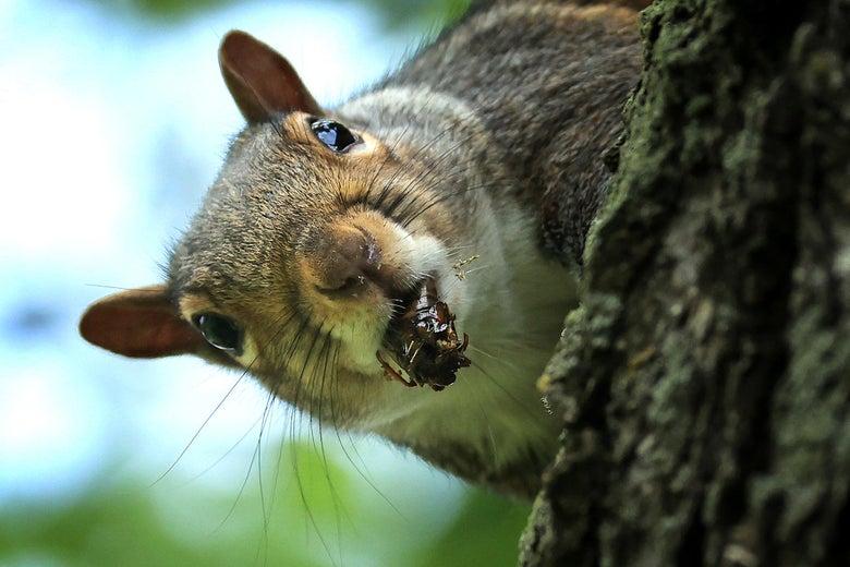 a squirrel holding a cicada