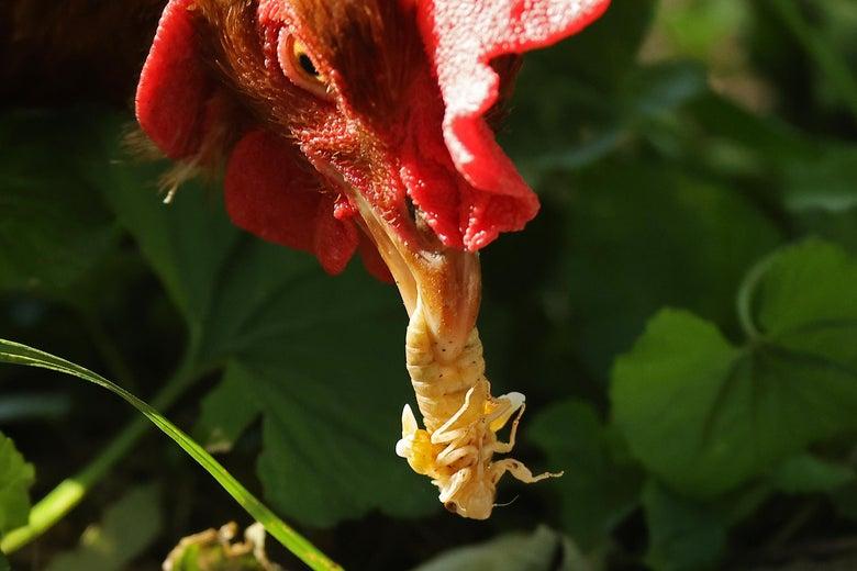 a chicken eats a cicada