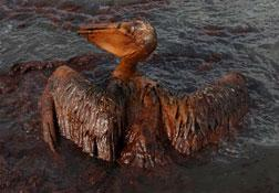 A brown pelican coated in heavy oil wallows in the surf. Click image to expand.