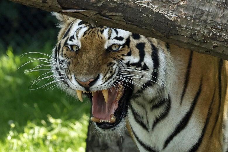 A Sibirian Tiger hisses in its enclosure.