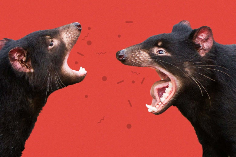 Two Tasmanian devils are seen screaming at each other against a red background, with a group of cells floating between their mouths.