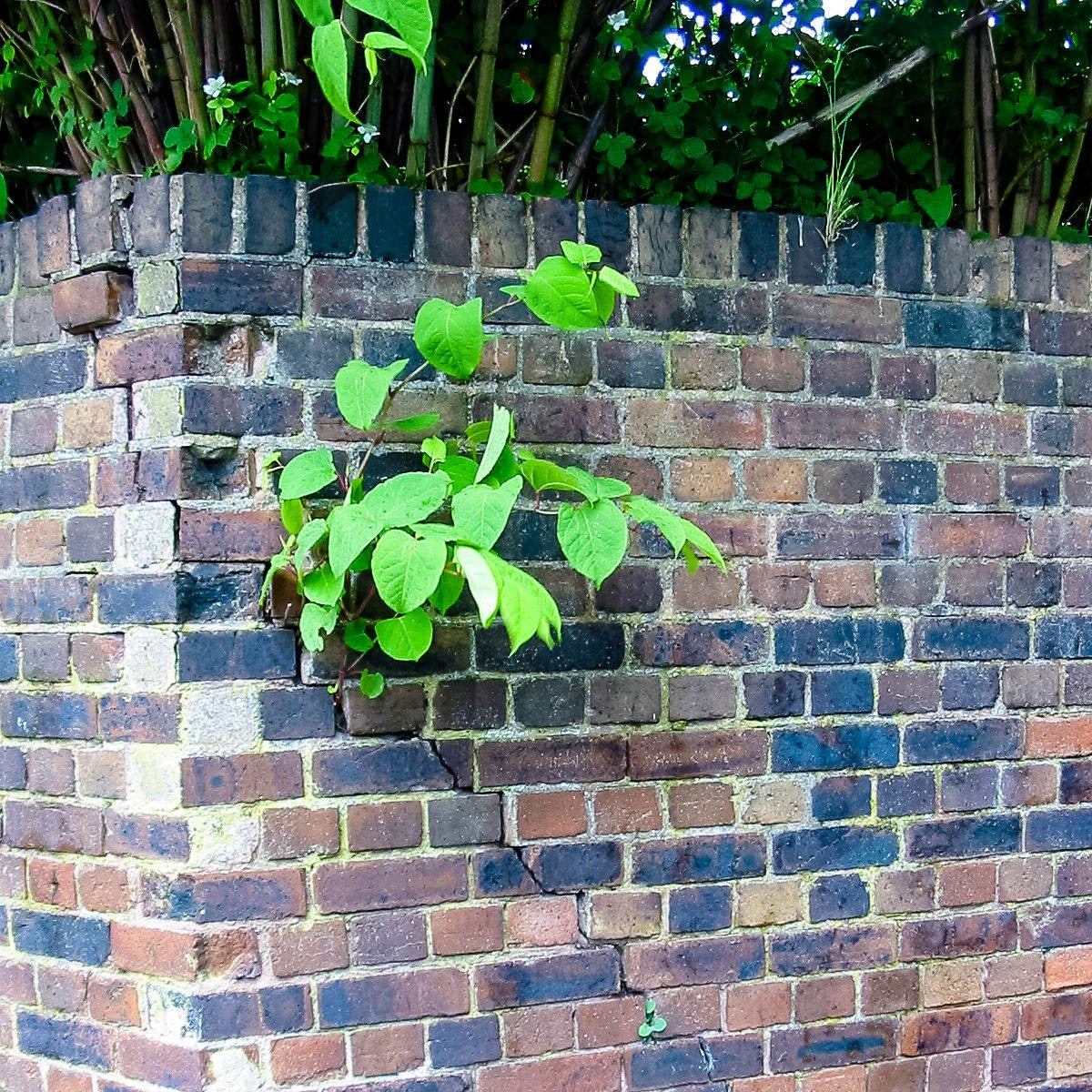 Knotweed growing out of a brick wall.