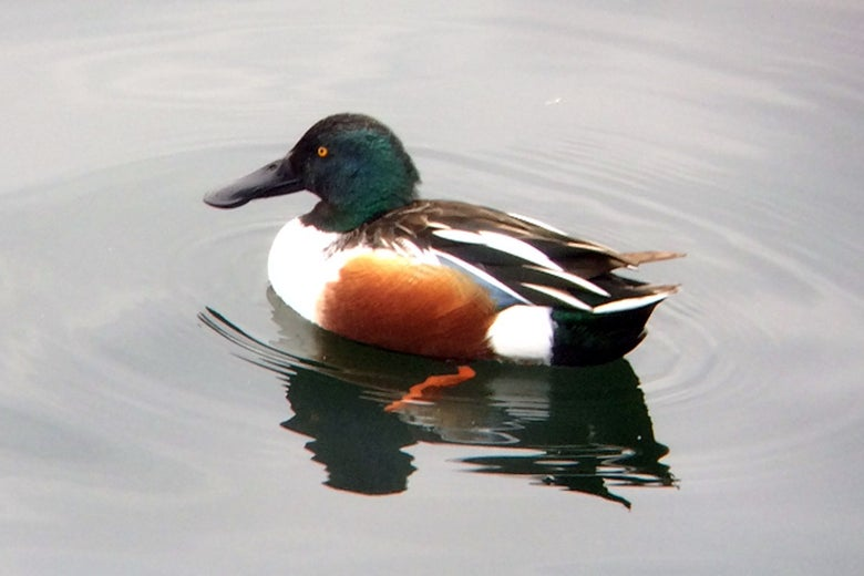 A northern shoveler duck on the water.