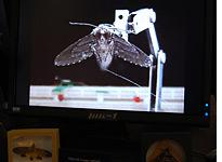 The wings of a cyborg moth are manipulated via electrode implants. Click image to expand.