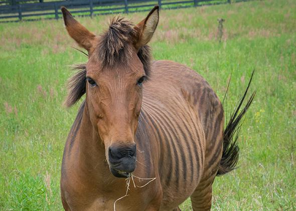 A zorse, a hybrid of a horse and zebra.