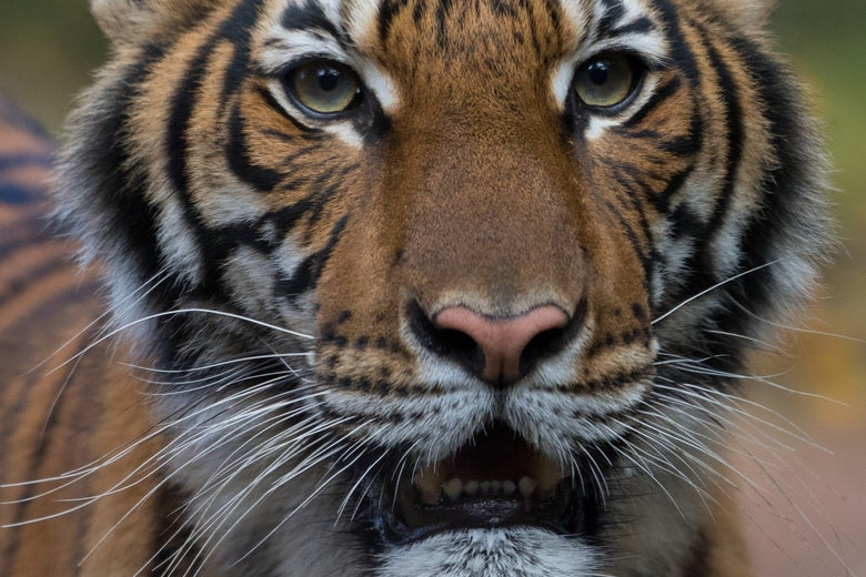 Nadia, a four-year-old female Malayan tiger at the Bronx Zoo, is seen in an undated photo provided by the zoo in New York.