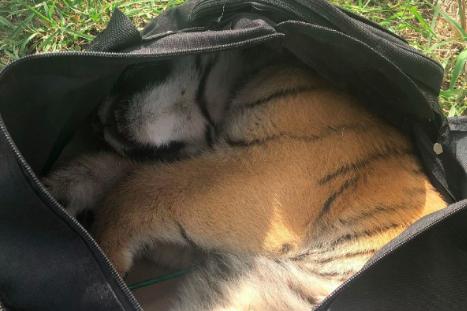 A seemingly sleeping tiger cub in a black duffel bag.