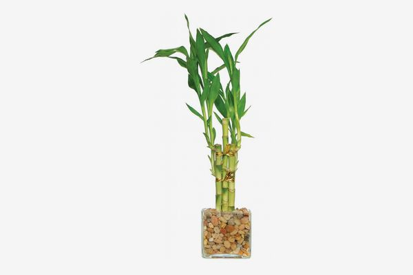 Brussel's Live Lucky Bamboo