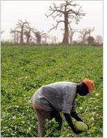 A farmer in Senegal. Click image to expand
