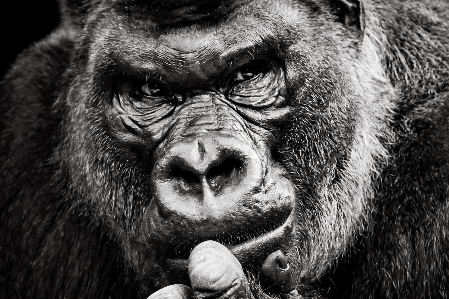 A Western lowland gorilla.