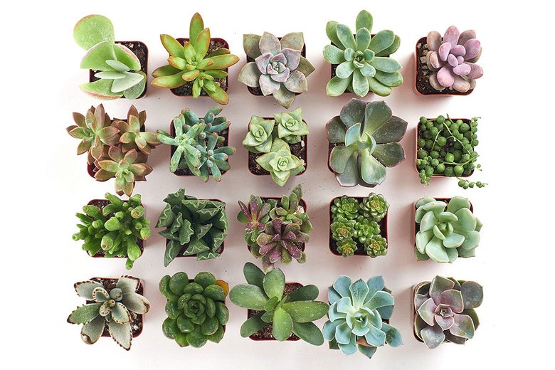 Shop Succulents Variety Pack
