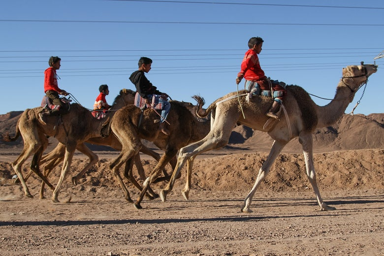 After the first race is over, the young racers mount the older camels for the second race of the day.