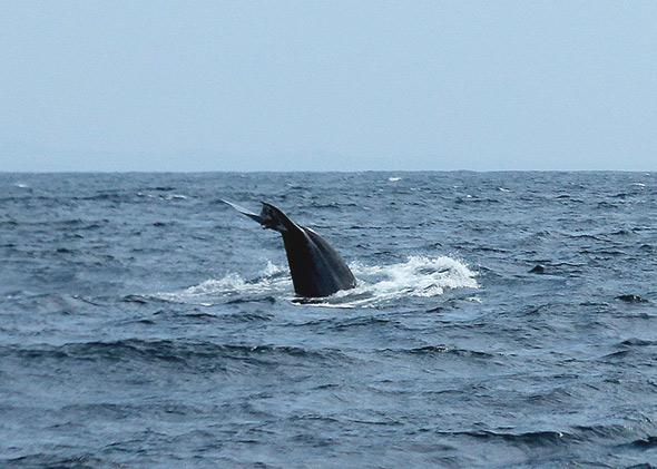 Balaenoptera musculus indica, or blue whale, in the Indian Ocean, Sri Lanka.
