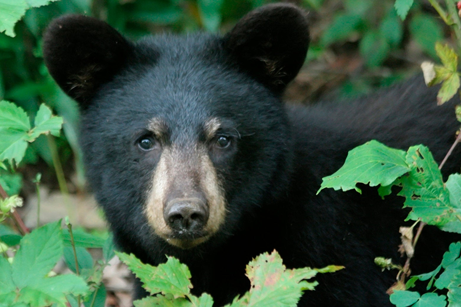 Black bear in the forrest.