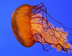 A jellyfish.