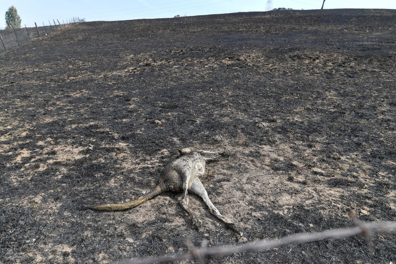 A dead kangaroo is seen on a charred landscape.