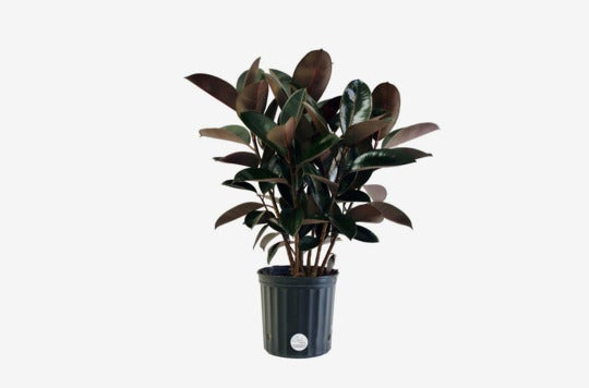 Costa Farms Premium Live Indoor Burgundy Rubber Plant.
