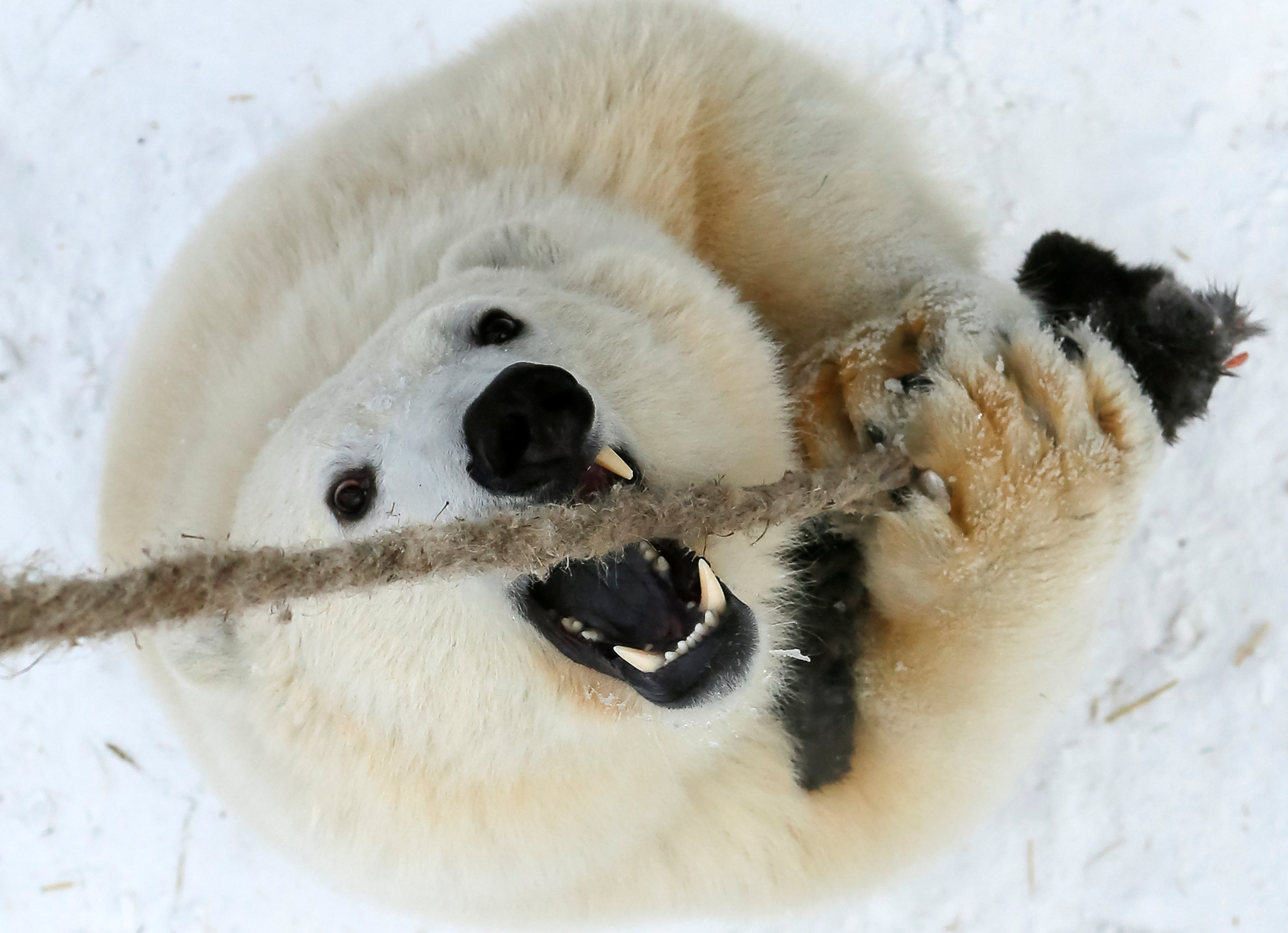 polar bear chewing on a rope, also looking terrifying