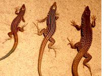 Three species of whiptail lizards