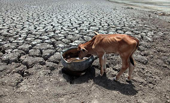 A calf drinks water on cracked ground at the Las Canoas dam, some 59 km (37 miles) north of the capital Managua April 26, 2013.