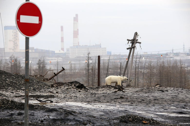 A stray polar bear is seen on the outskirts of the city of Norilsk, Russia.