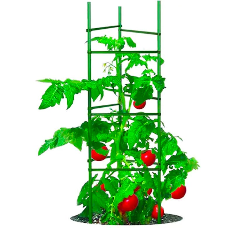 Tomatoes grow up a plant cage.
