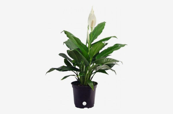 Peace Lily.
