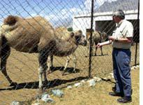 A Bactrian camel breeding center near the village of Diskit is a magnet for tourists
