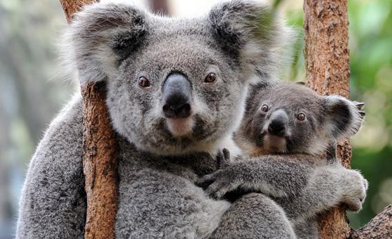 A female koala cuddles her joey.