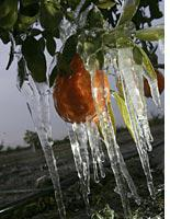 Icicles on an orange tree. Click image to expand.
