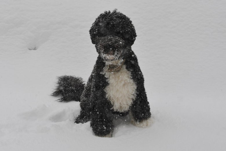 Bo, the Obama family dog, sits in the snow outside of the Brady Briefing Room of the White House on December 19, 2009 in Washington.