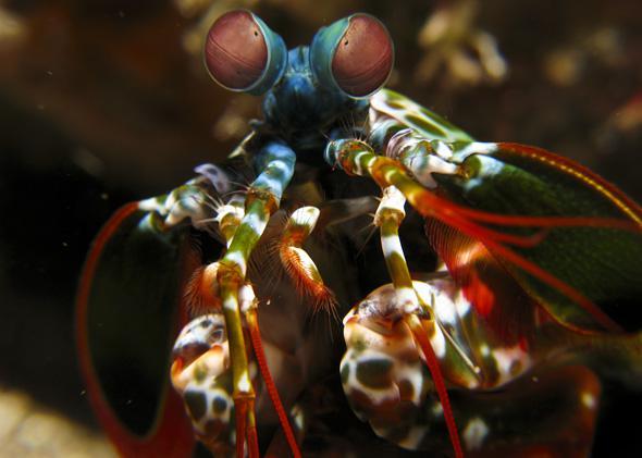 mantis ahrimp