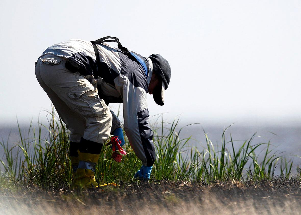 A worker takes soil samples of an island in Barataria Bay to determine if the island needs to be cleaned again near Myrtle Grove, Louisiana March 31, 2011.