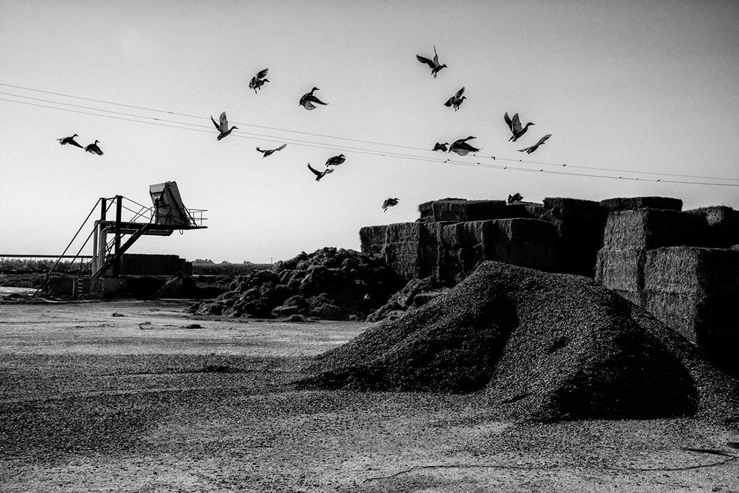 Ducks fly from a mound of cattle feed.