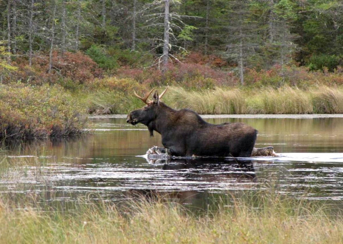 Moose Conte.