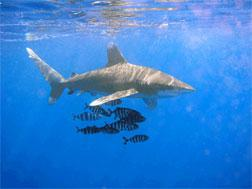 An image of the Oceanic Whitetip Shark.