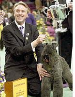 Kerry Blue Terrier at Westminster Dog Show