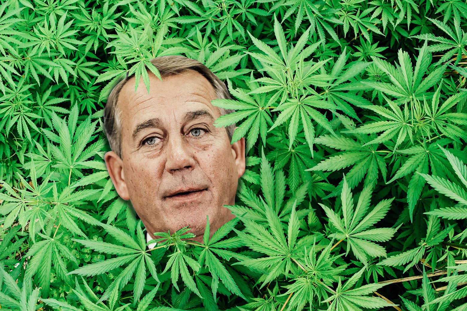 John Boehner's head superimposed on a bunch of marijuana plants.