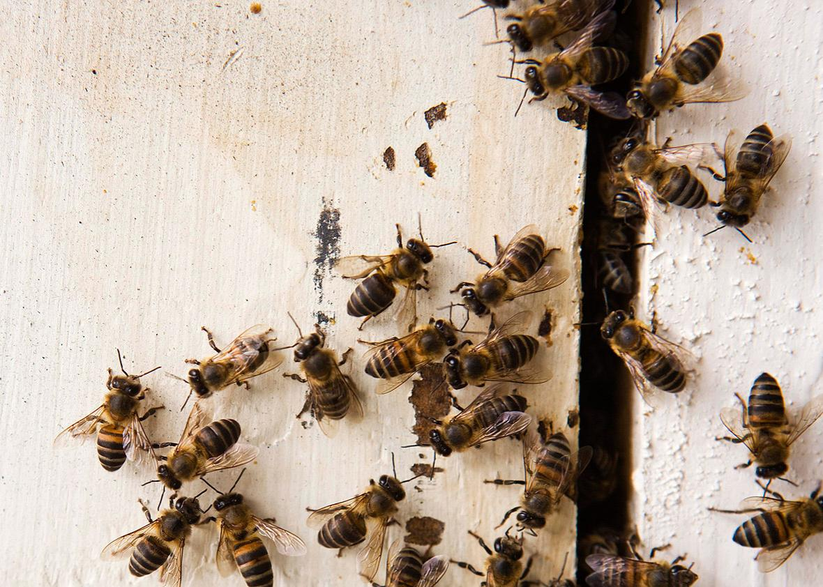 Why do bees keep nesting in homes?