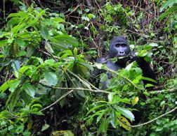 A silverback male mountain gorilla. Click image to expand.
