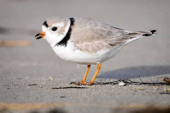 Piping plover photographed at Cape May National Wildlife Refuge, March 28, 2010.