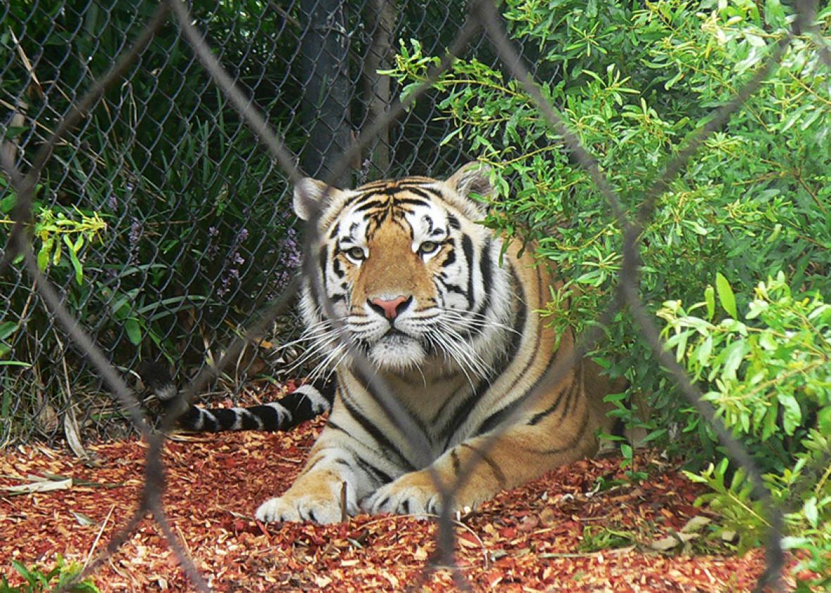 LSU Mascot Mike the Tiger and his habitat on August 25, 2008.