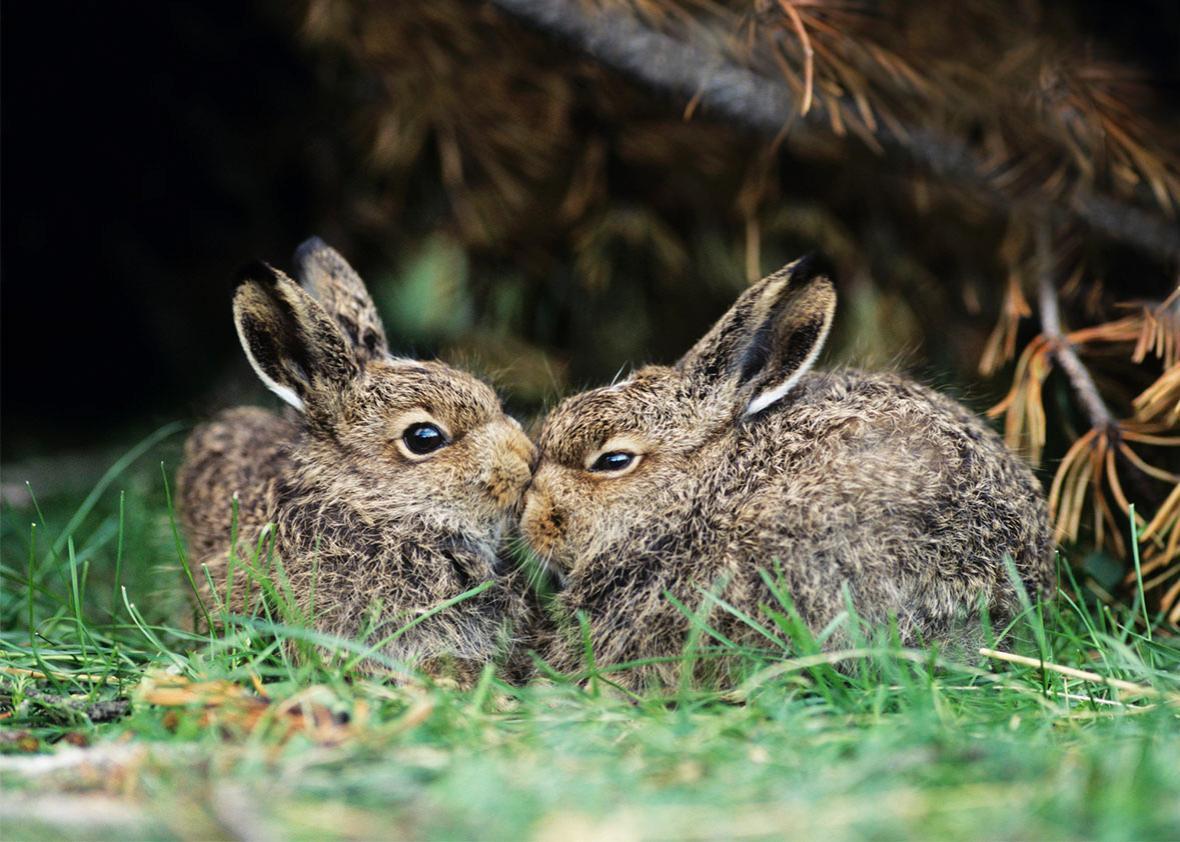 Rabbits Nuzzling.