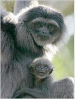 Silver gibbons. Click image to expand