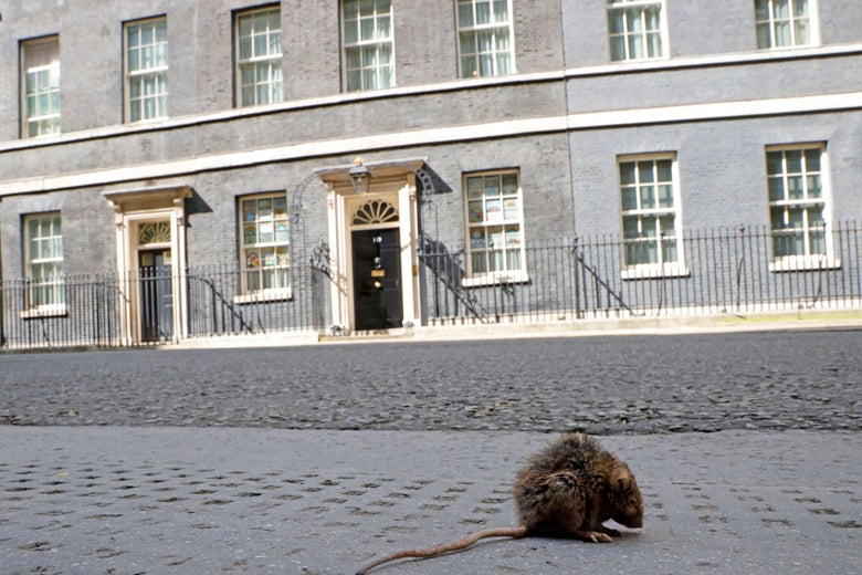 A rat sits in the road outside 10 Downing Street, the official residence of Britain's Prime Minister, in central London on May 12, 2020.