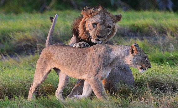 Safaris: What do I do if I encounter a growling lion?