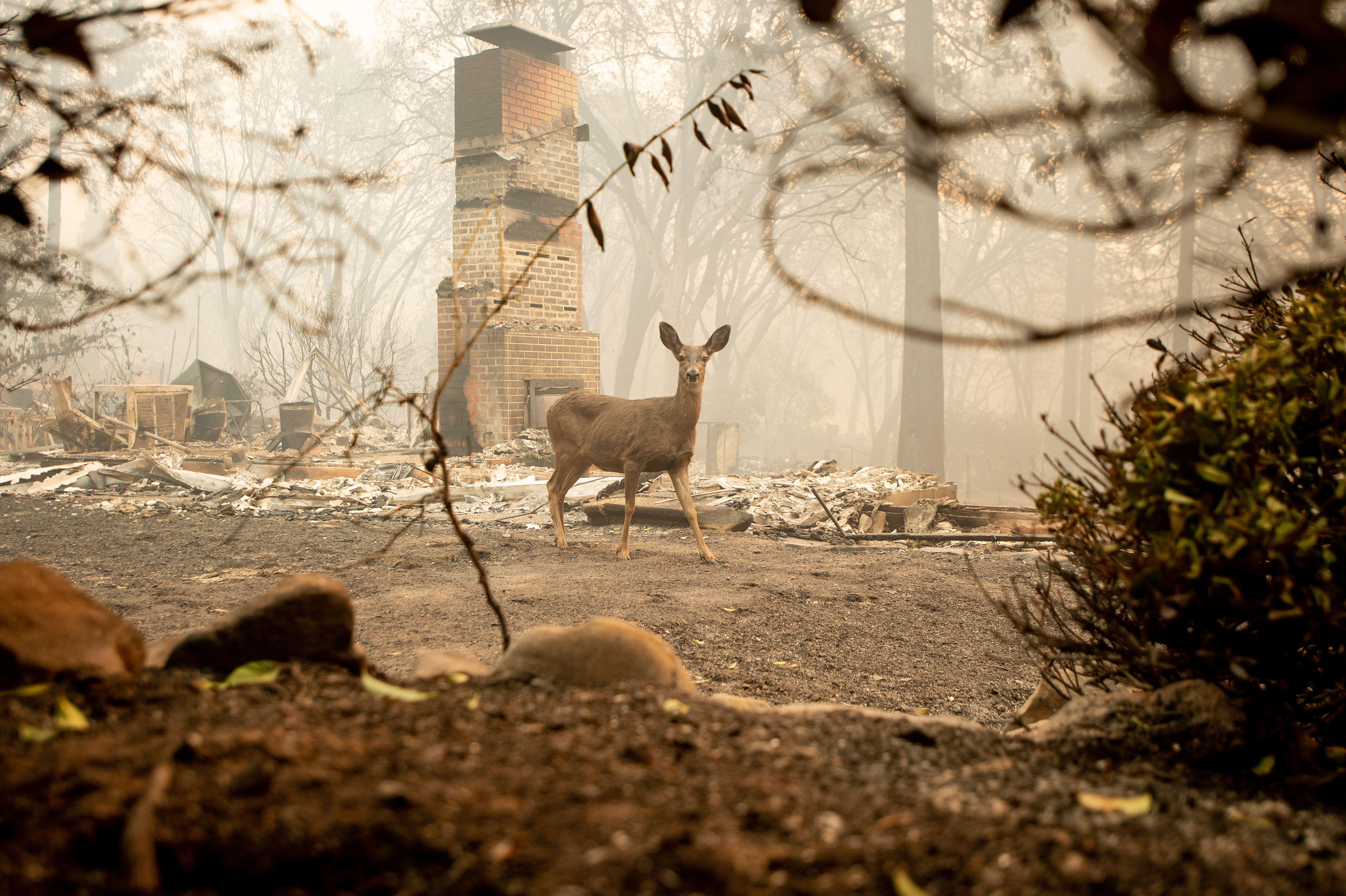 A deer looks on from a residence burned by the Camp Fire.