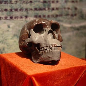 Peking Man Skull (replica) presented at Paleozoological Museum of China, February 2009.