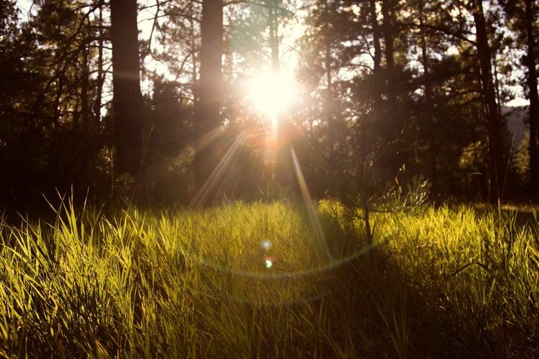 A burst of sun through some trees over some grass.