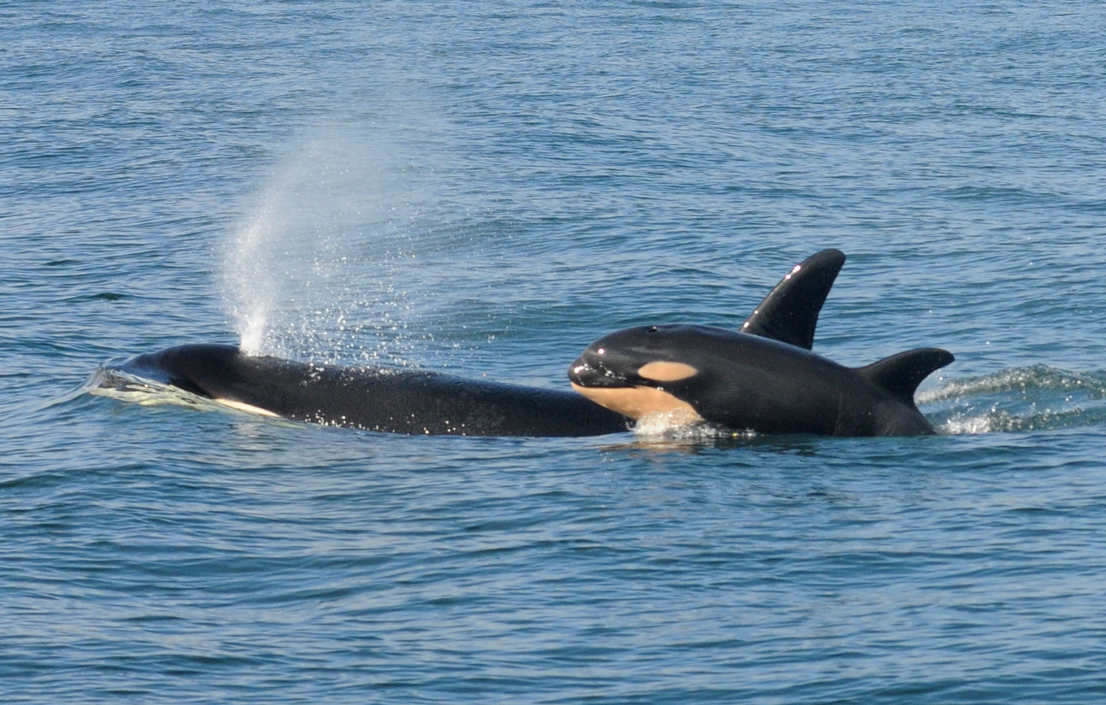 A female killer whale and her newborn calf are seen February 26, 2015 in this handout photo provided by NOAA in Grays Harbor near Westport, Washington.